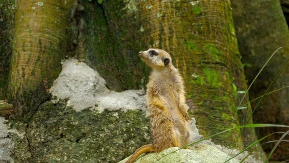 Thumbnail for Meerkat Looking Out
