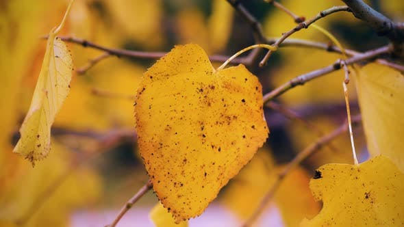 Thumbnail for Autumn Leaf