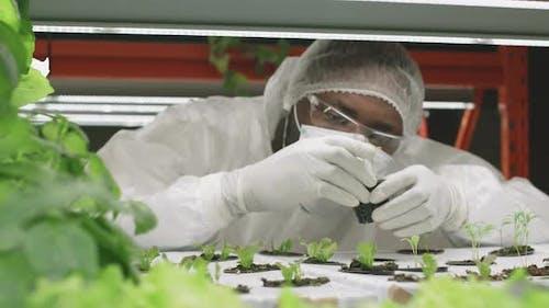 Agronomic Engineer Examining Lettuce Seedlings in Pots