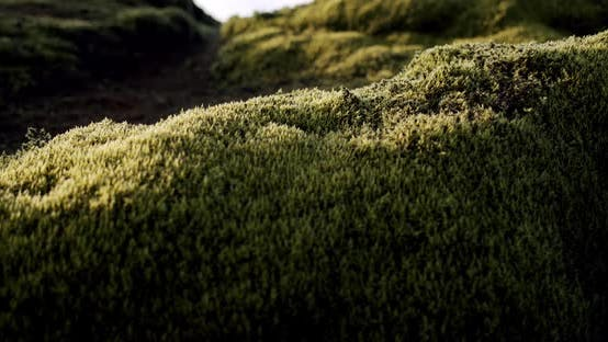 Thumbnail for Iceland Lava Field Covered with Green Moss From Volcano Eruption, Close Up, Move Camera