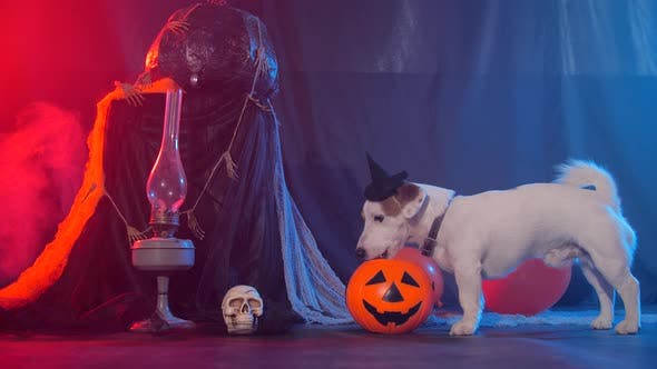 Thumbnail for Halloween Celebration Concept. Funny Dog Eating From Halloween Pumpkin