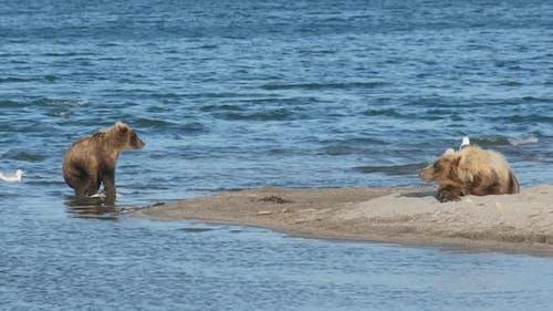 Brown Bears on Lake, Kamchatka, Russia