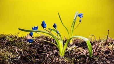 Blue Snowdrop in Spring