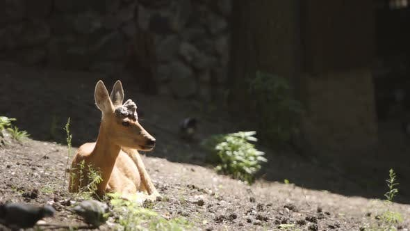 Thumbnail for Portrait Of A Young Deer In A Forest