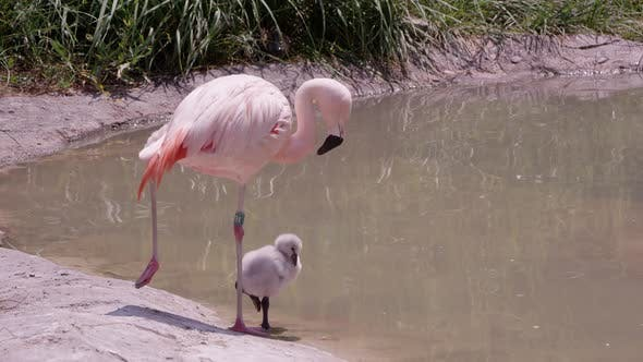 Mother and chick flamingo standing on one leg
