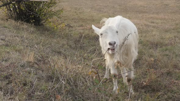 Thumbnail for White domesticated goat feeding in nature 4K 2160p 30fps UltraHD footage - One white domestic animal