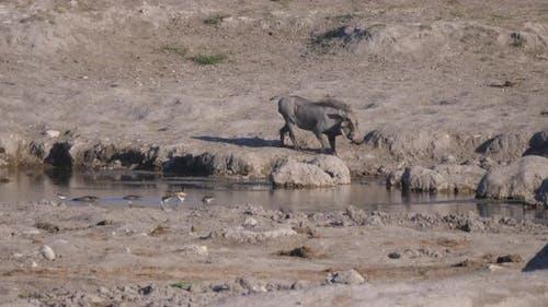 Warthog drinking from a waterhole