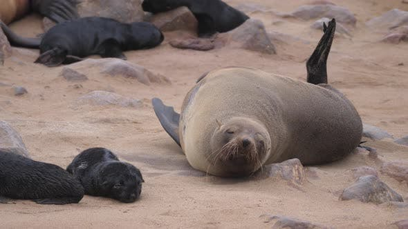 Thumbnail for Sea lion scratching his body