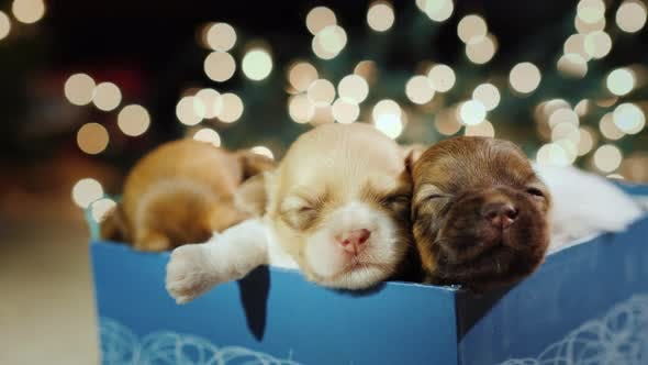 Thumbnail for Three Cute Little Puppies in a Gift Box