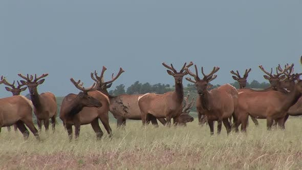 Thumbnail for Elk Bull Adult Herd Many Curious Inquisitive in Summer Antlers Velvet Growing