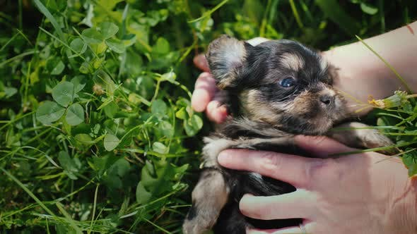 Thumbnail for The Owner's Hands Stroke a Funny Little Puppy on the Background of Green Grass