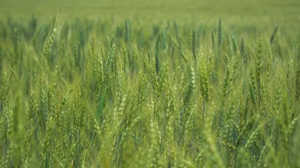 Thumbnail for Green Wheat On Field