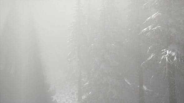 Thumbnail for Misty Fog in Pine Forest on Mountain Slopes