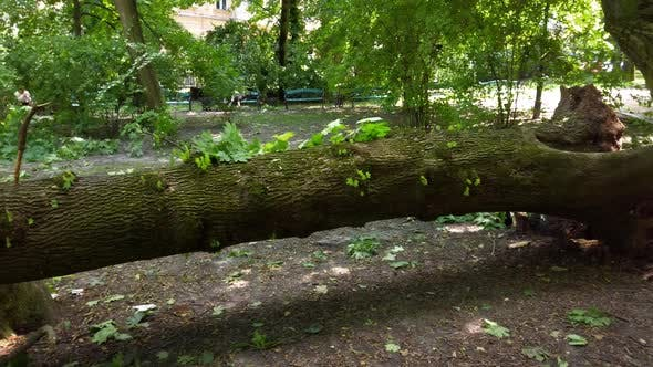 Trees felled by a hurricane in the park.