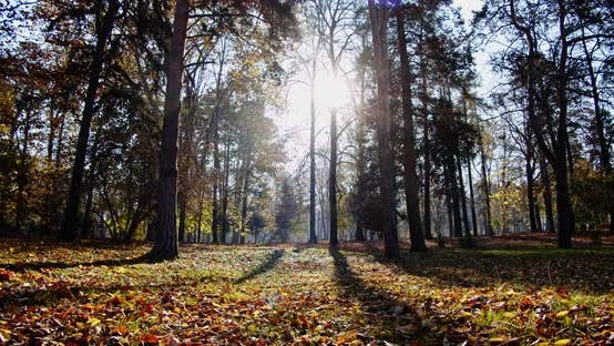 Thumbnail for Serene Autumn Forest Landscape with Autumnal Leaves Falling From Colorful Maple Trees at Daytime