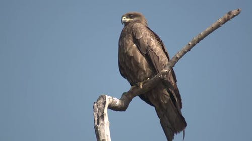 Tawny Eagle Alone Resting in Spring in India