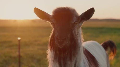 Portrait of a Thoroughbred Goat in a Meadow at Sunset