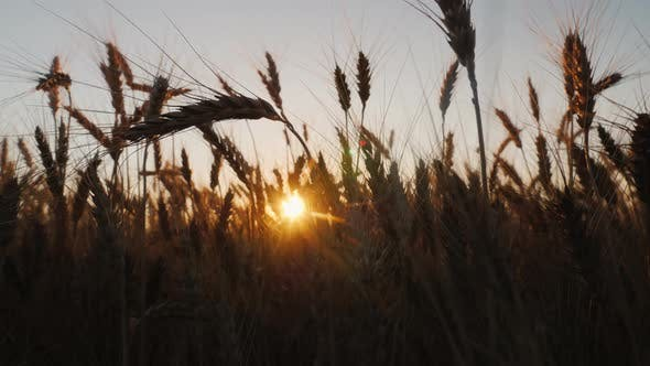Thumbnail for Wheat Ears at Sunset.  Video