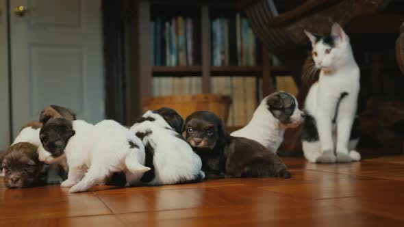 Thumbnail for The Cat Watches the Little Puppies Play on the Floor in the Room