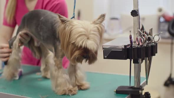 Thumbnail for Grooming a Terrier
