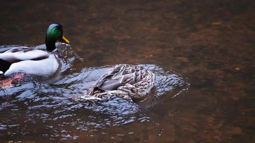 Duck swims along a fast river, slow motion