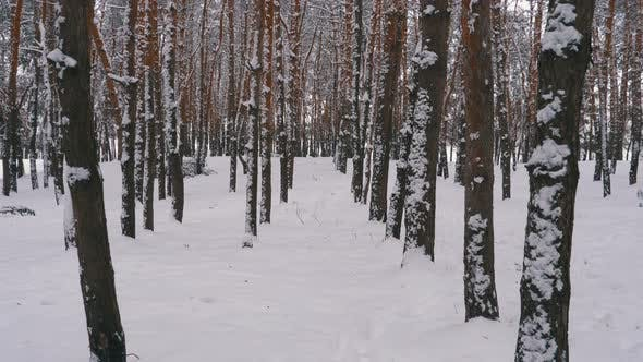 Cover Image for Flying Through the Tree Trunks in Winter Pine Forest