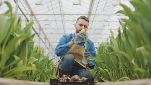 Man Plucking Flowers in Glasshouse