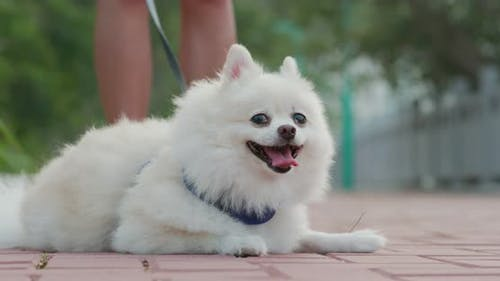 Pomeranian dog going out
