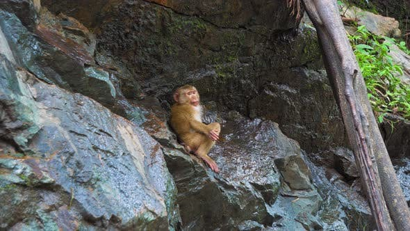 Thumbnail for The Monkey on The Rock Drinks Water. Animals in The Wild. the Natural Habitat of Monkeys