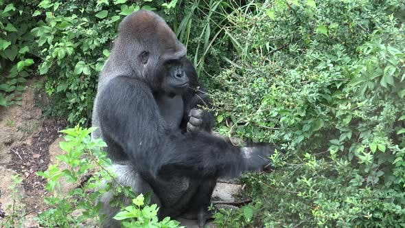 Thumbnail for Western Lowland Gorilla Adult Lone Eating Feeding in Summer Fruit Nuts Berries Foraging