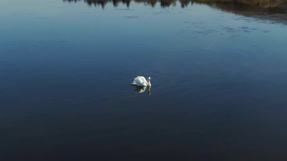 Thumbnail for Swan Hunting Food In the Clear Water with the Swans Reflection
