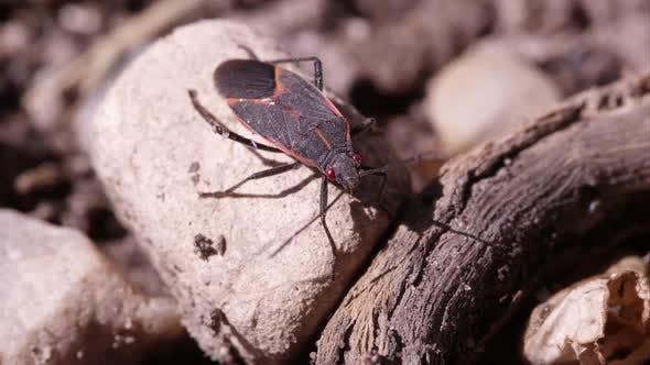 Thumbnail for Box elder bug crawls out of frame.