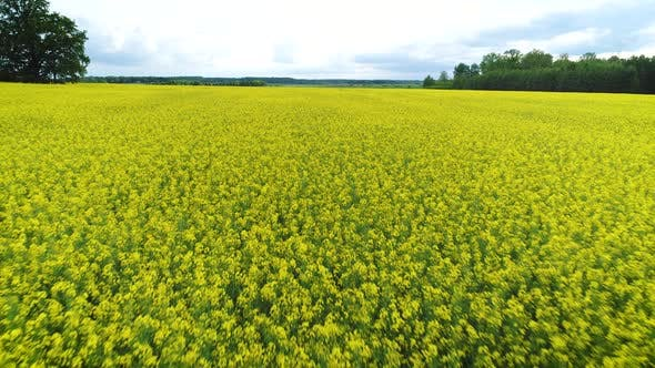 Yellow Oilseed Rape Flowers Field Landscape