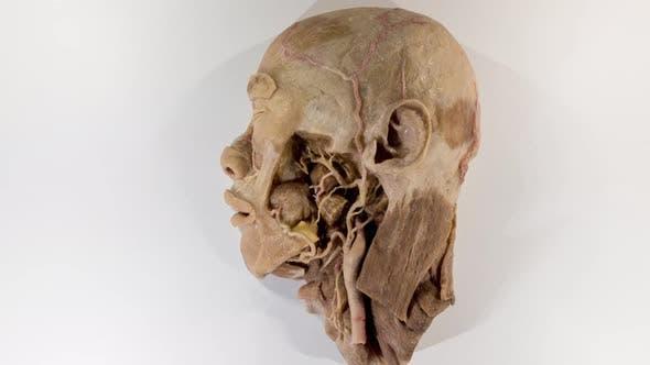 Thumbnail for Human Head