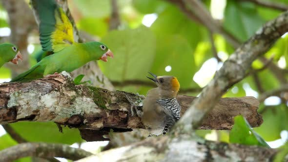 Thumbnail for Parrots Attacking a Woodpecker in the Rain Forest