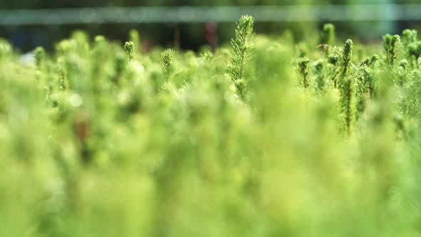 Thumbnail for Cultivation of Pine Trees From Seedlings Grown From Seeds