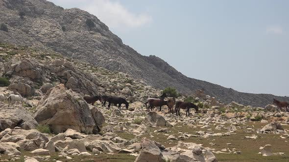 Wild Horses and Mules Herd