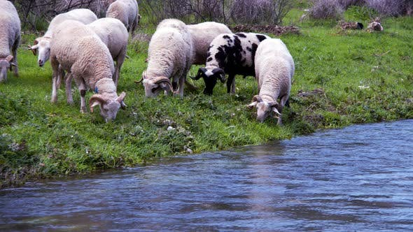 Cover Image for The Mammal Animal Sheep Near The River 8