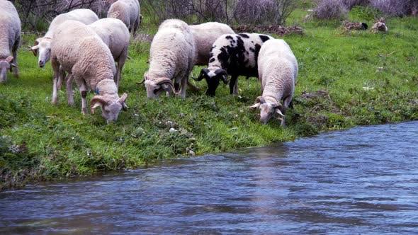 Thumbnail for The Mammal Animal Sheep Near The River 8