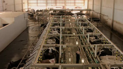 Cow milking parlor.