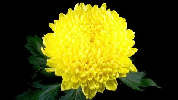 Thumbnail for Beautiful Yellow Chrysanthemum Flower Opening