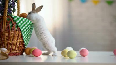 Curious Easter Bunny Near Basket and Colored Eggs, Spring Religious Festival