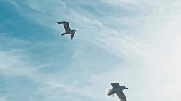 Thumbnail for Sea Gulls Flying in the Sky
