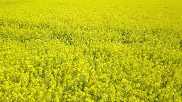 Thumbnail for Aerial View Drone Flight Footage of Blooming Yelloa Rapeseed Field, Canola Flowers