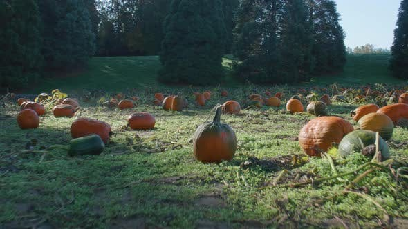 Thumbnail for Patch Of Rotten Pumpkins
