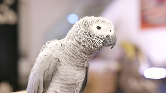 Thumbnail for African grey parrot eating sunflower seed