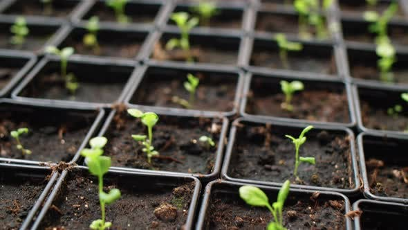 Thumbnail for Close Up Shot of Little Sprouts in Pots in Greenhouse Farm
