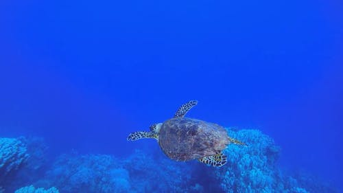 Underwater Green Turtle