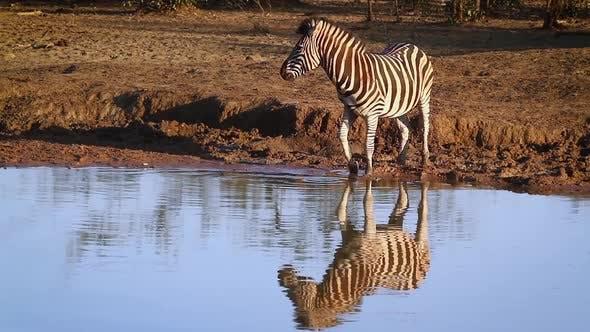 Thumbnail for Plains zebra in Kruger National park, South Africa