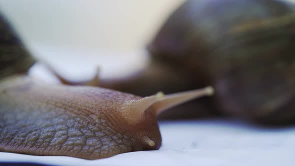 Thumbnail for Giant African Land Snails is Crawling
